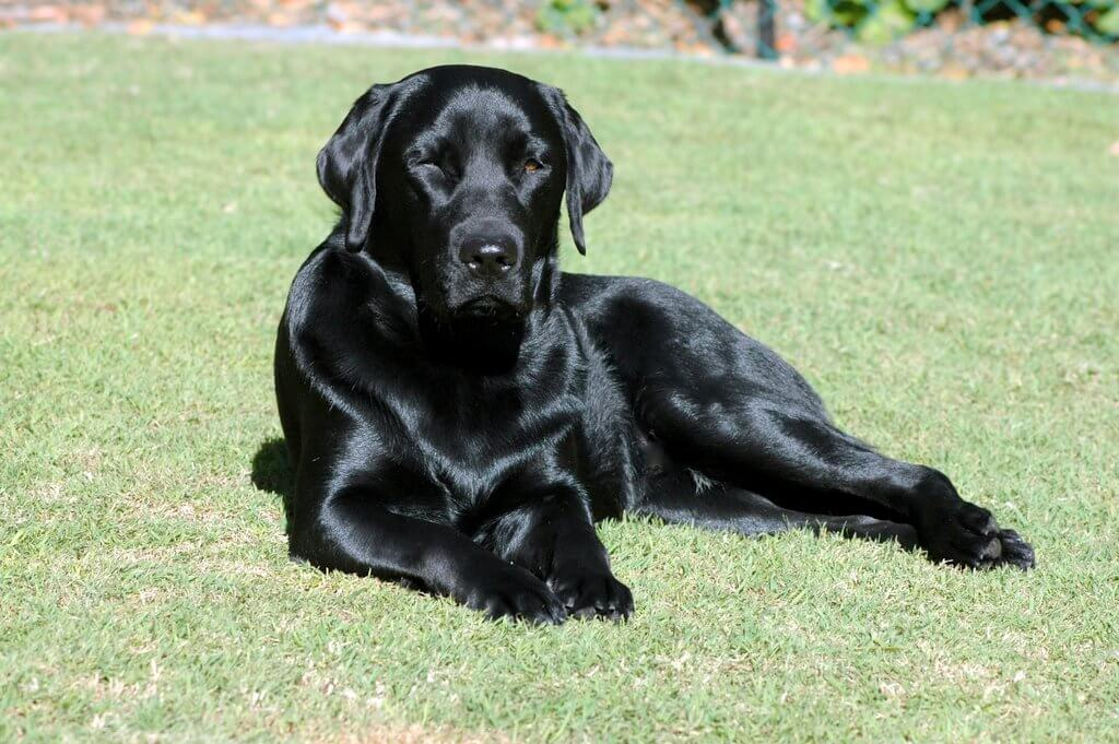 a glossy, black labrador sitting on the grass