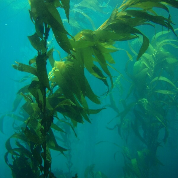kelp in the ocean