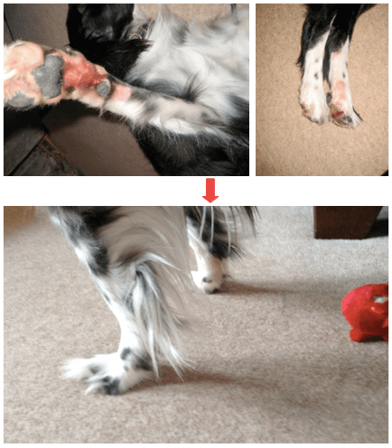 for dog skin conditions more important than what you put IN is what you take OUT. This pic shows a collie's sore red leg two weeks before we changed his diet