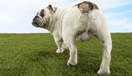 a rear picture of a bull dog