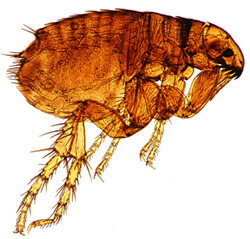 natural flea treatment for dogs