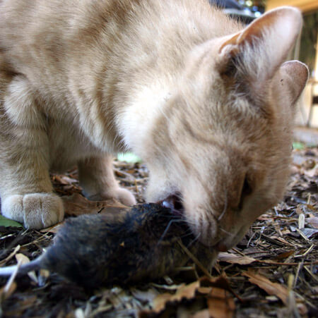 a cat eating a rat