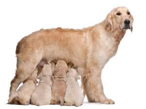 lactating dog feeding 4 puppies
