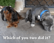 a photo of two dogs and one dog looks guilty