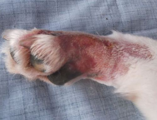 Alabama Rot in Dogs – Can Everyone Please Calm Down
