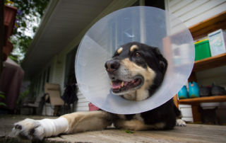 image of dog with collar and bandaged food